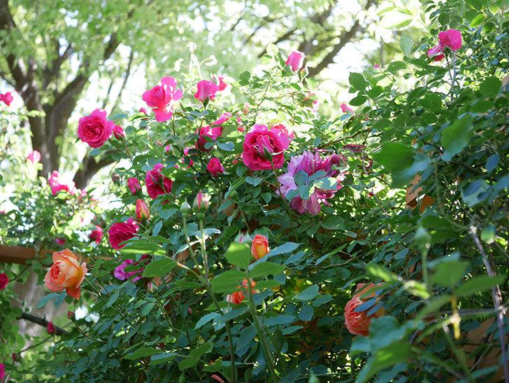 レディ・オブ・シャーロット(Lady of Shalott)の花が増えてきた。半ツルバラ。2021年-045.jpg