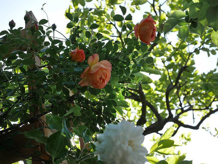 レディ・オブ・シャーロット(Lady of Shalott)の花が増えてきた。半ツルバラ。2021年-046.jpg