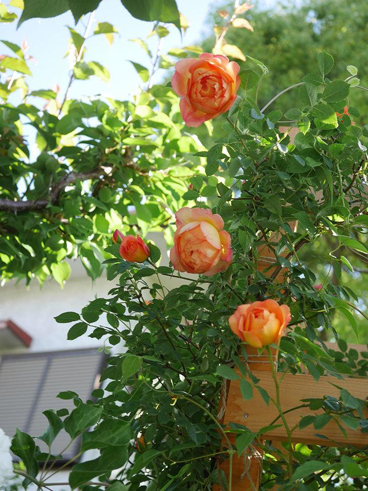 レディ・オブ・シャーロット(Lady of Shalott)の花が増えてきた。半ツルバラ。2021年-048.jpg