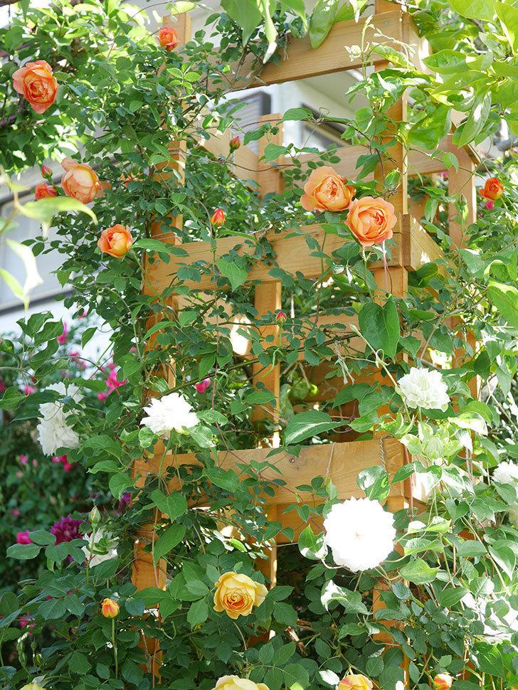 レディ・オブ・シャーロット(Lady of Shalott)の花が増えてきた。半ツルバラ。2021年-051.jpg