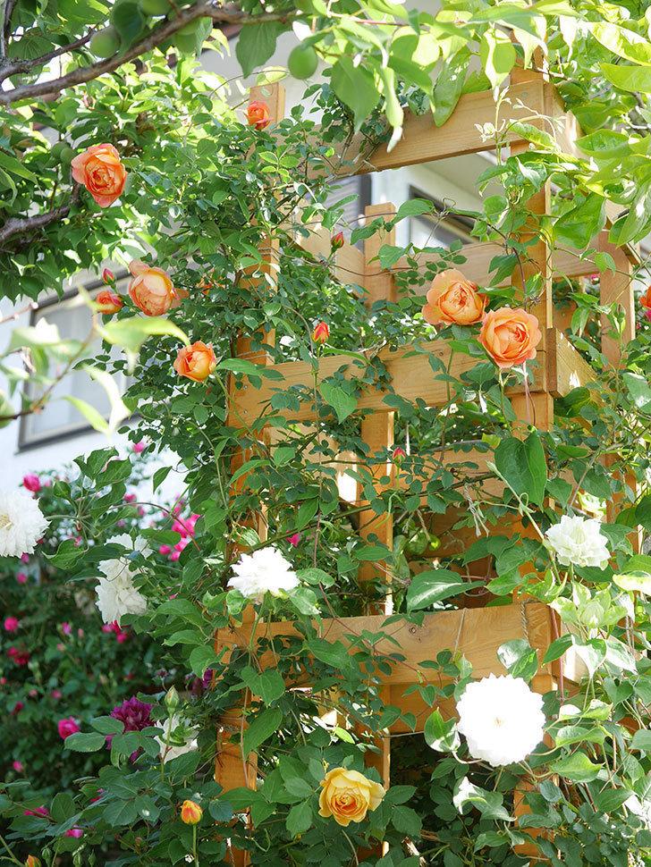レディ・オブ・シャーロット(Lady of Shalott)の花が増えてきた。半ツルバラ。2021年-052.jpg