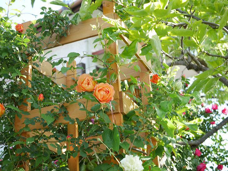 レディ・オブ・シャーロット(Lady of Shalott)の花が増えてきた。半ツルバラ。2021年-053.jpg
