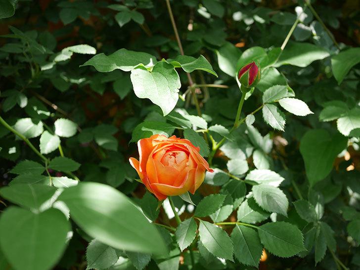 レディ・オブ・シャーロット(Lady of Shalott)の花が増えてきた。半ツルバラ。2021年-054.jpg