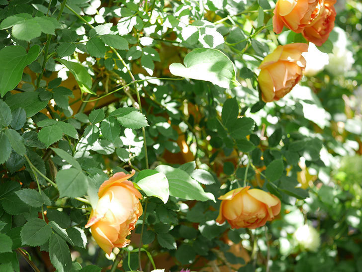 レディ・オブ・シャーロット(Lady of Shalott)の花が増えてきた。半ツルバラ。2021年-055.jpg