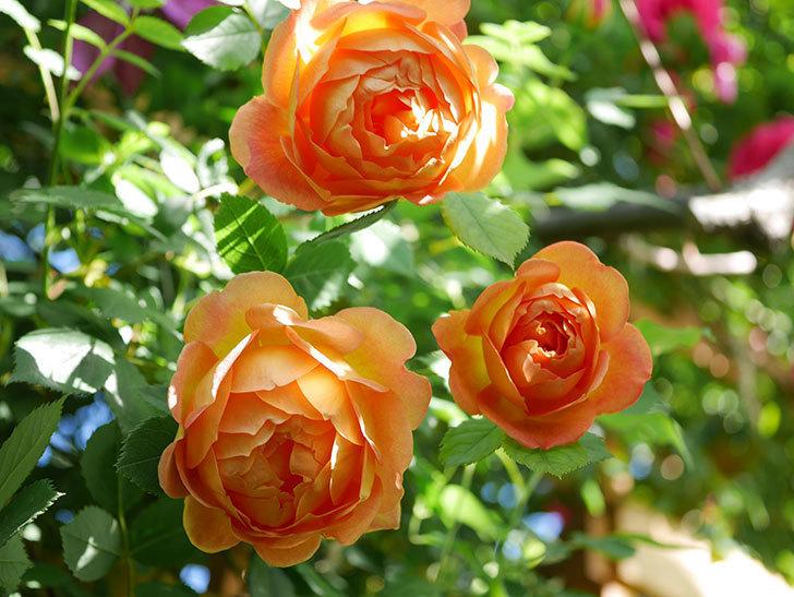 レディ・オブ・シャーロット(Lady of Shalott)の花が増えてきた。半ツルバラ。2021年-057.jpg