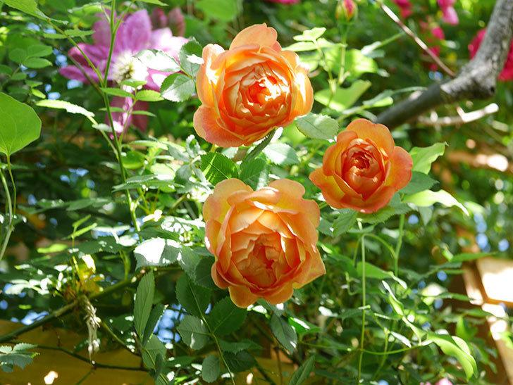 レディ・オブ・シャーロット(Lady of Shalott)の花が増えてきた。半ツルバラ。2021年-058.jpg