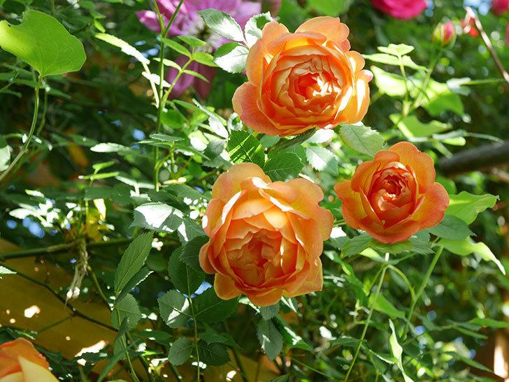 レディ・オブ・シャーロット(Lady of Shalott)の花が増えてきた。半ツルバラ。2021年-059.jpg