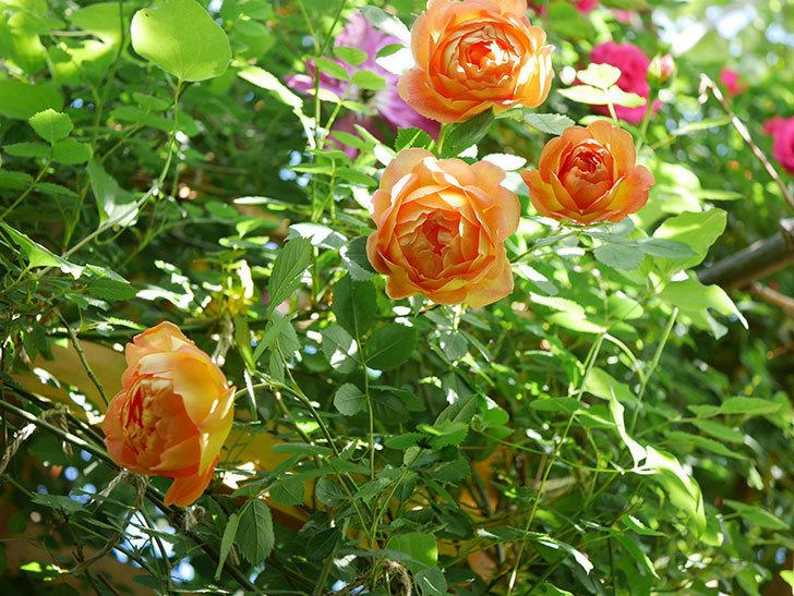 レディ・オブ・シャーロット(Lady of Shalott)の花が増えてきた。半ツルバラ。2021年-062.jpg