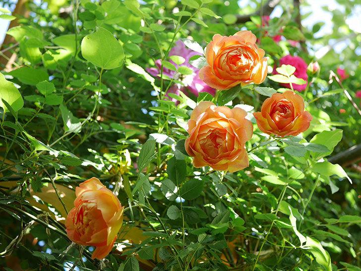 レディ・オブ・シャーロット(Lady of Shalott)の花が増えてきた。半ツルバラ。2021年-063.jpg