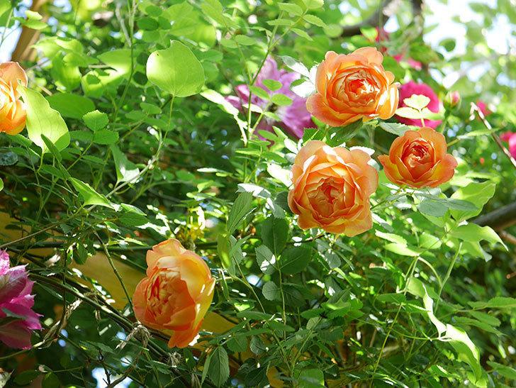 レディ・オブ・シャーロット(Lady of Shalott)の花が増えてきた。半ツルバラ。2021年-065.jpg