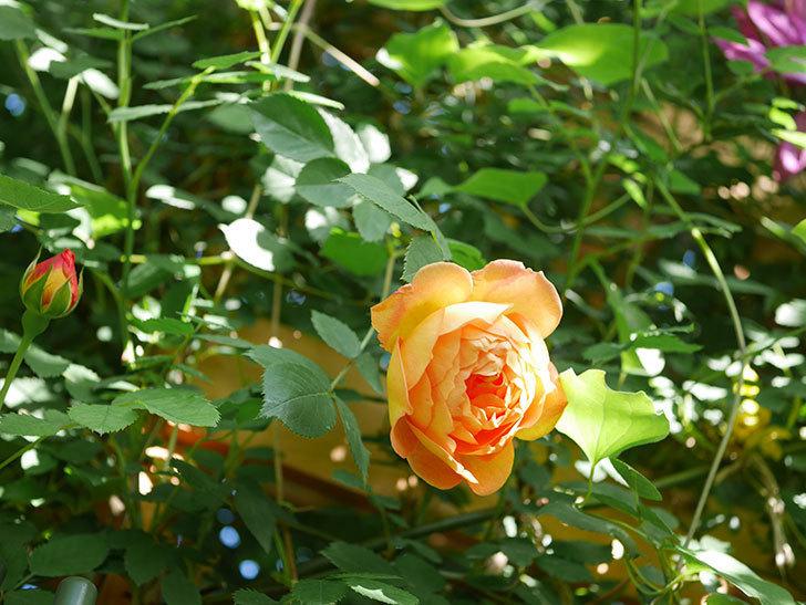 レディ・オブ・シャーロット(Lady of Shalott)の花が増えてきた。半ツルバラ。2021年-066.jpg
