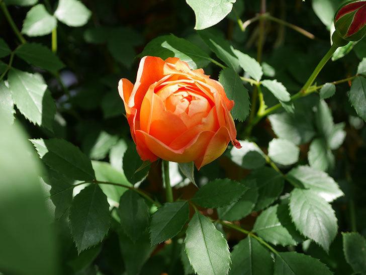 レディ・オブ・シャーロット(Lady of Shalott)の花が増えてきた。半ツルバラ。2021年-067.jpg