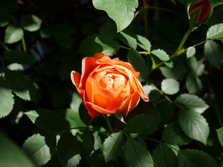 レディ・オブ・シャーロット(Lady of Shalott)の花が増えてきた。半ツルバラ。2021年-068.jpg