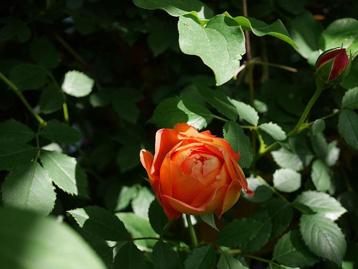 レディ・オブ・シャーロット(Lady of Shalott)の花が増えてきた。半ツルバラ。2021年-069.jpg