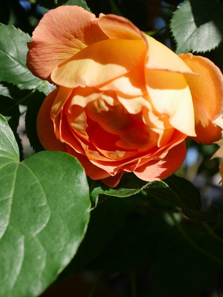 レディ・オブ・シャーロット(Lady of Shalott)の花が増えてきた。半ツルバラ。2021年-071.jpg