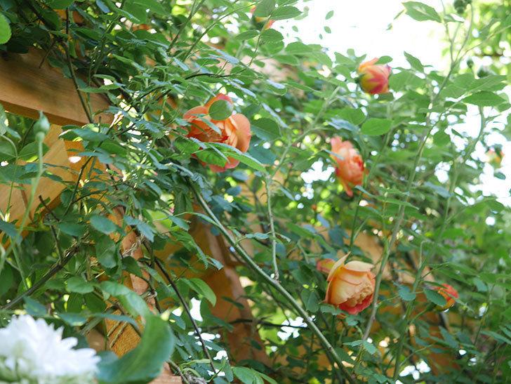 レディ・オブ・シャーロット(Lady of Shalott)の花が増えてきた。半ツルバラ。2021年-072.jpg