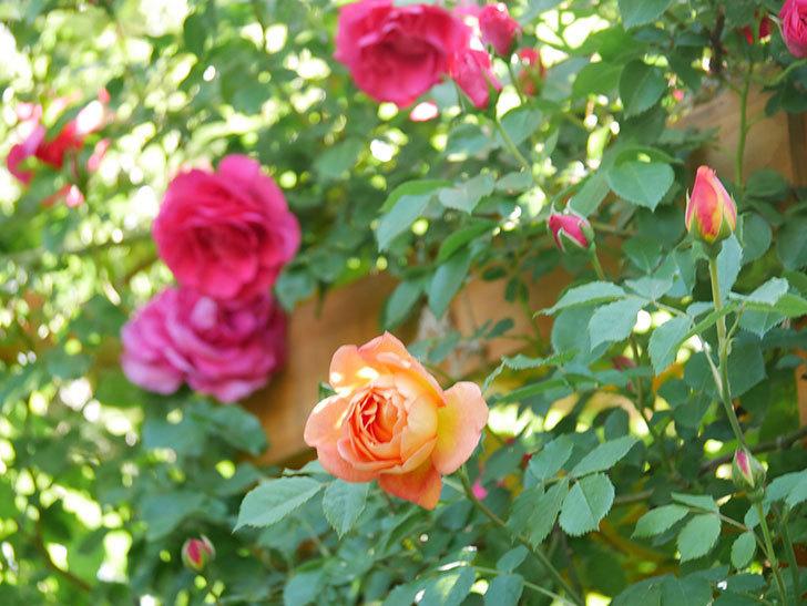 レディ・オブ・シャーロット(Lady of Shalott)の花が増えてきた。半ツルバラ。2021年-073.jpg