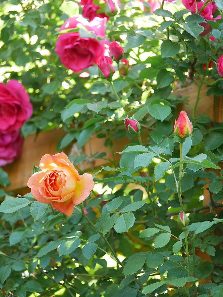 レディ・オブ・シャーロット(Lady of Shalott)の花が増えてきた。半ツルバラ。2021年-074.jpg