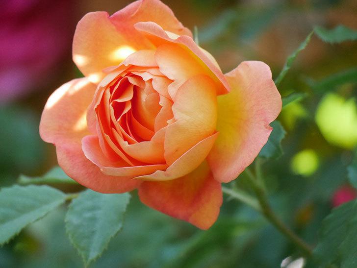 レディ・オブ・シャーロット(Lady of Shalott)の花が増えてきた。半ツルバラ。2021年-077.jpg