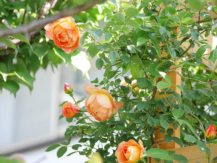レディ・オブ・シャーロット(Lady of Shalott)の花が増えてきた。半ツルバラ。2021年-078.jpg