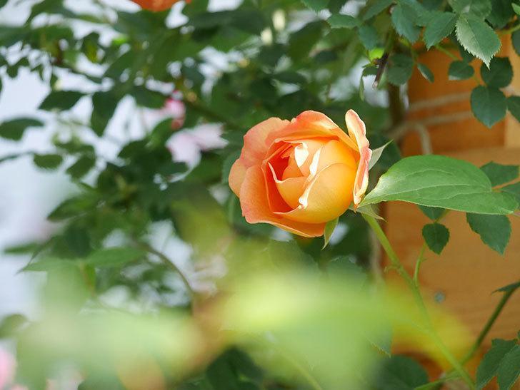 レディ・オブ・シャーロット(Lady of Shalott)の花が増えてきた。半ツルバラ。2021年-079.jpg