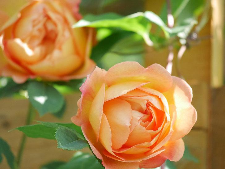 レディ・オブ・シャーロット(Lady of Shalott)の花が増えてきた。半ツルバラ。2021年-082.jpg