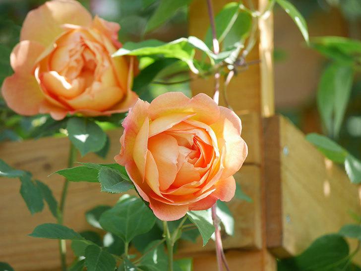 レディ・オブ・シャーロット(Lady of Shalott)の花が増えてきた。半ツルバラ。2021年-083.jpg