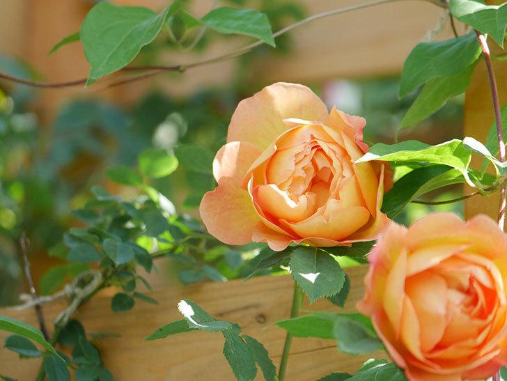 レディ・オブ・シャーロット(Lady of Shalott)の花が増えてきた。半ツルバラ。2021年-084.jpg