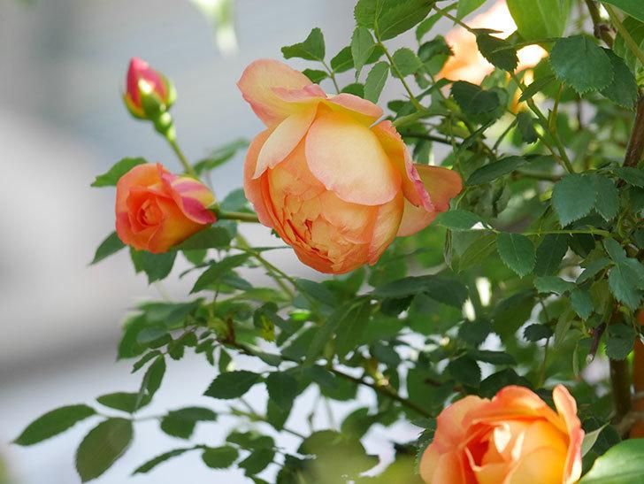 レディ・オブ・シャーロット(Lady of Shalott)の花が増えてきた。半ツルバラ。2021年-085.jpg