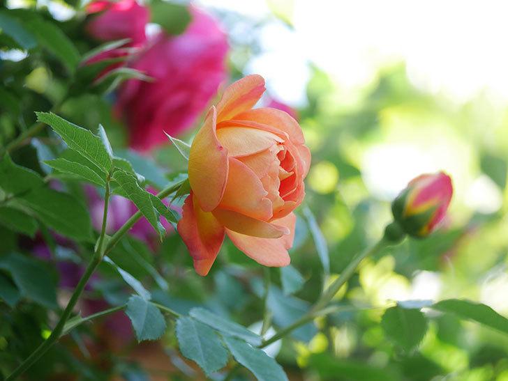 レディ・オブ・シャーロット(Lady of Shalott)の花が増えてきた。半ツルバラ。2021年-086.jpg