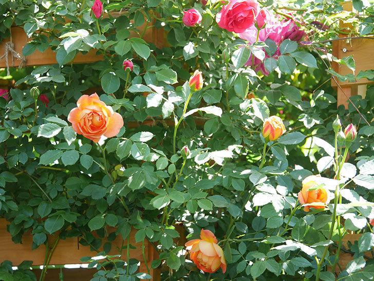 レディ・オブ・シャーロット(Lady of Shalott)の花が増えてきた。半ツルバラ。2021年-088.jpg