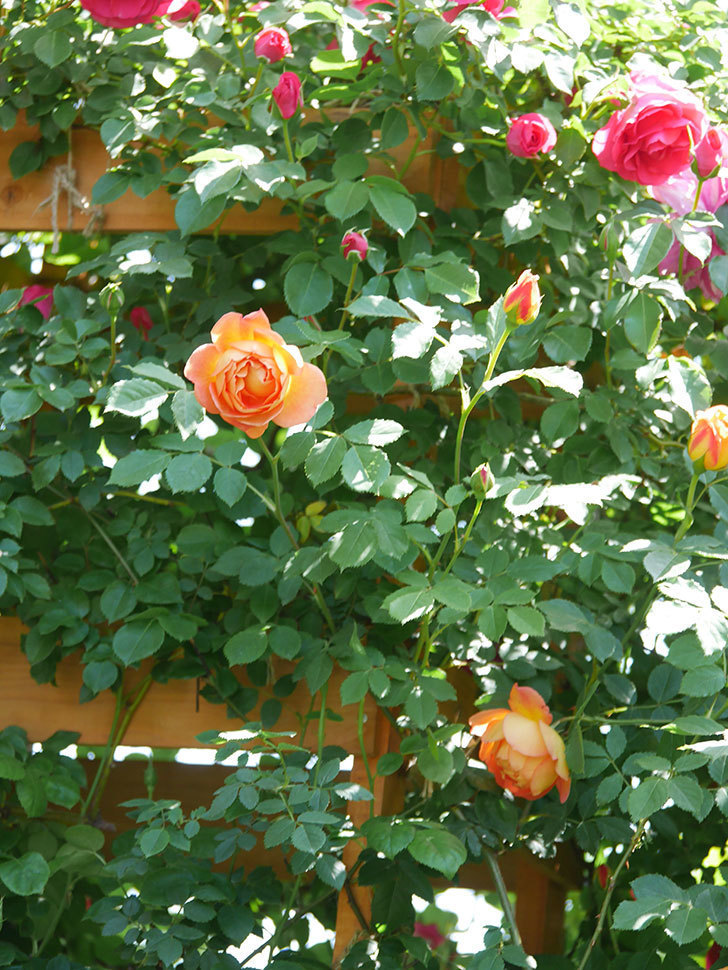 レディ・オブ・シャーロット(Lady of Shalott)の花が増えてきた。半ツルバラ。2021年-090.jpg