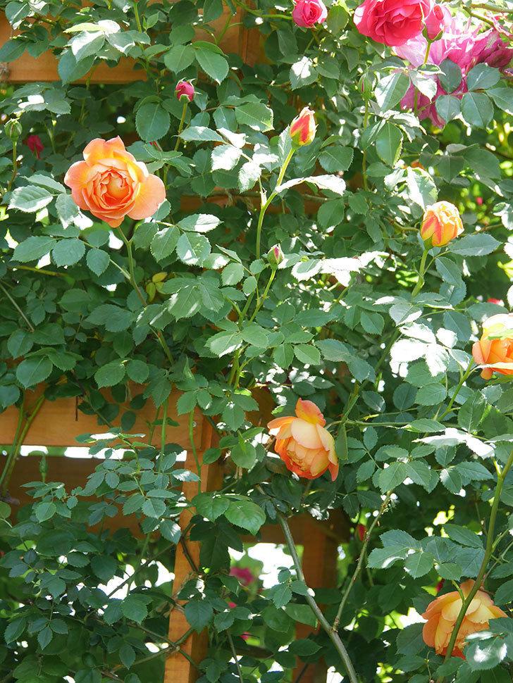 レディ・オブ・シャーロット(Lady of Shalott)の花が増えてきた。半ツルバラ。2021年-091.jpg