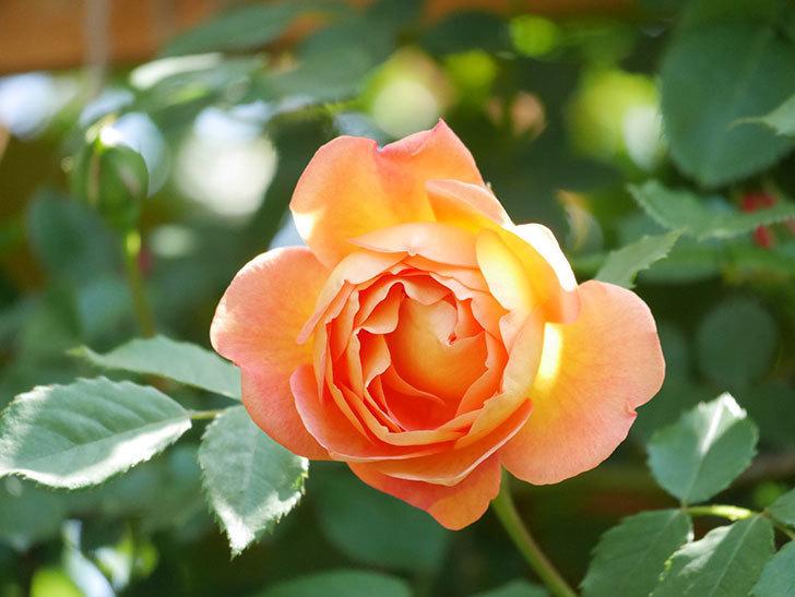 レディ・オブ・シャーロット(Lady of Shalott)の花が増えてきた。半ツルバラ。2021年-092.jpg
