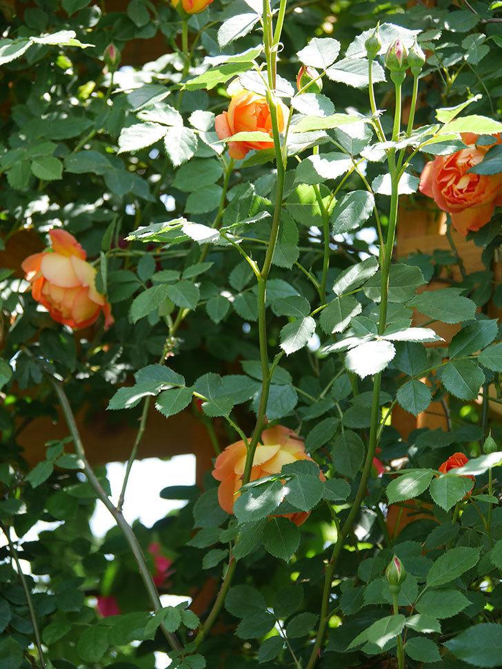 レディ・オブ・シャーロット(Lady of Shalott)の花が増えてきた。半ツルバラ。2021年-095.jpg