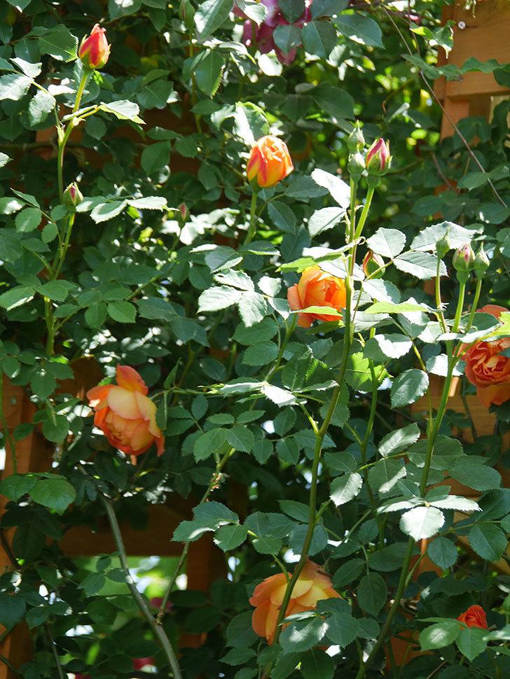 レディ・オブ・シャーロット(Lady of Shalott)の花が増えてきた。半ツルバラ。2021年-096.jpg