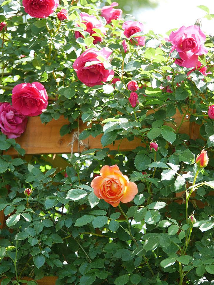レディ・オブ・シャーロット(Lady of Shalott)の花が増えてきた。半ツルバラ。2021年-097.jpg