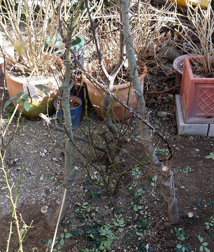 レディ・オブ・シャーロットに寒肥をやってオベリスク設置して誘引した。2017年-1.jpg