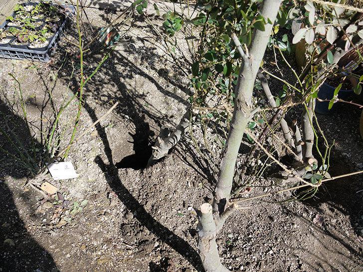 レディ・オブ・シャーロットに寒肥をやってオベリスク設置して誘引した。2017年-12.jpg