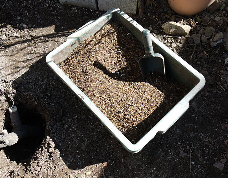 レディ・オブ・シャーロットに寒肥をやってオベリスク設置して誘引した。2017年-13.jpg