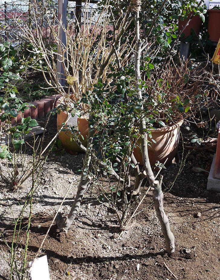 レディ・オブ・シャーロットに寒肥をやってオベリスク設置して誘引した。2017年-17.jpg