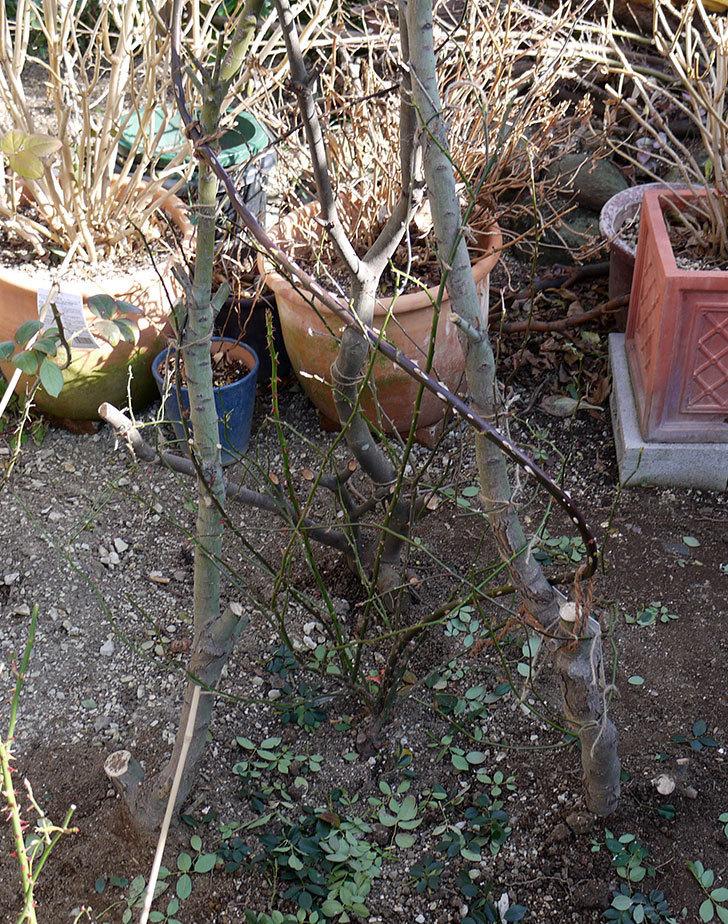 レディ・オブ・シャーロットに寒肥をやってオベリスク設置して誘引した。2017年-20.jpg
