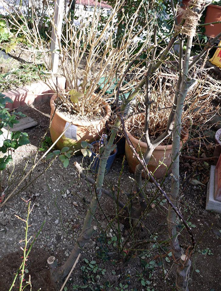 レディ・オブ・シャーロットに寒肥をやってオベリスク設置して誘引した。2017年-21.jpg