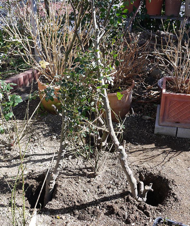 レディ・オブ・シャーロットに寒肥をやってオベリスク設置して誘引した。2017年-9.jpg