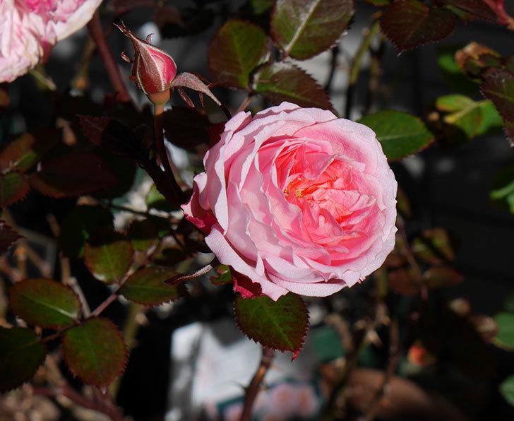 レディ・メイアンディナ(ミニバラ)がまだ咲いている。2018年-1.jpg