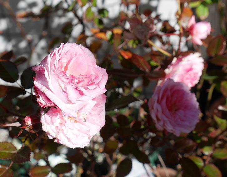 レディ・メイアンディナ(ミニバラ)がまだ咲いている。2018年-2.jpg