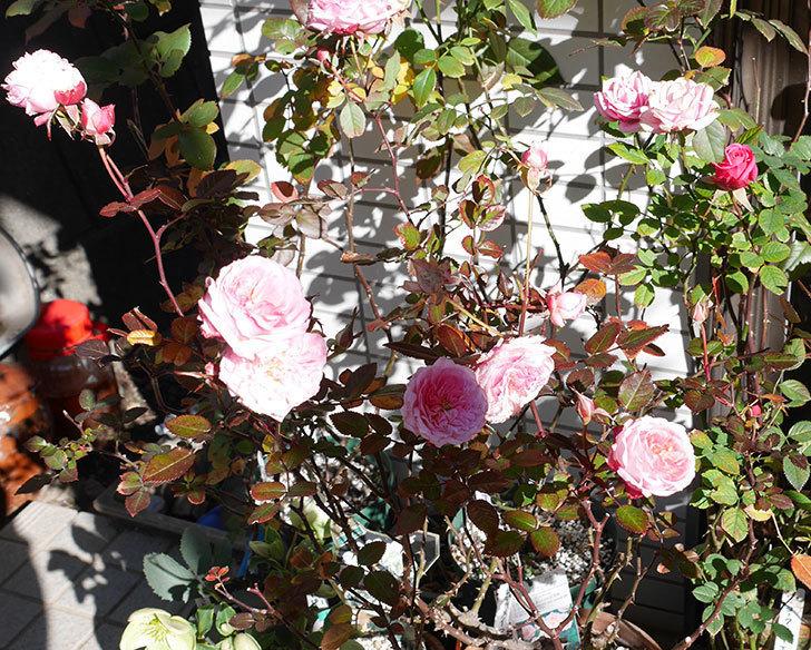 レディ・メイアンディナ(ミニバラ)がまだ咲いている。2018年-3.jpg