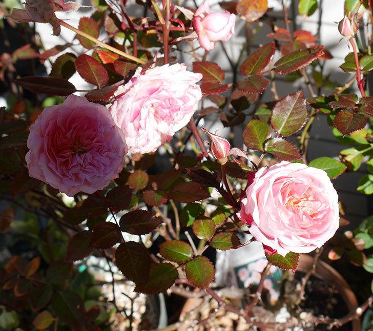 レディ・メイアンディナ(ミニバラ)がまだ咲いている。2018年-4.jpg
