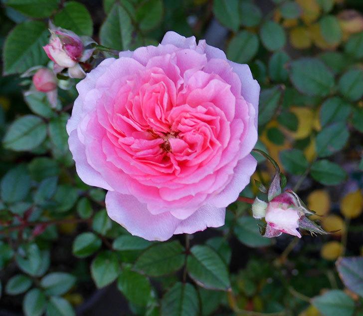 レディ・メイアンディナ(ミニバラ)に濃いピンクの花が咲いた。2017年-1.jpg