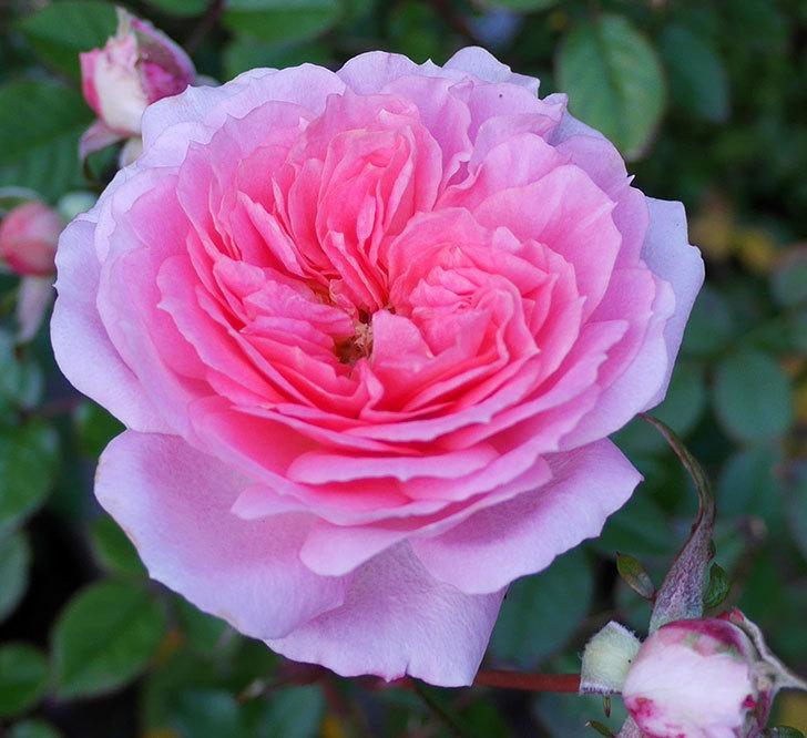 レディ・メイアンディナ(ミニバラ)に濃いピンクの花が咲いた。2017年-2.jpg
